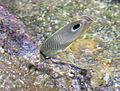Butterfly fish (4387370172).jpg