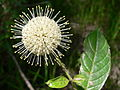 Button Bush, NPSPhoto (9099858307).jpg