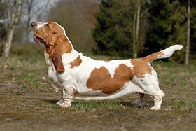 Basset hound blanc et orange.
