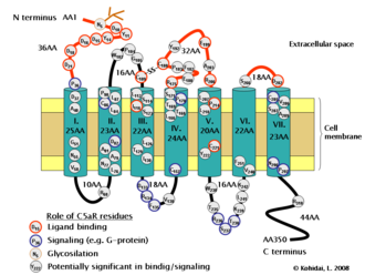 C5a receptor - C5a receptor structure and its residues possessing role in ligand binding or signaling.