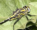CLUBTAIL, TAMAULIPAN (Gomphus gonzalezi) (3-7-12) national butterfly center, mission, tx -02 (6993917235).jpg
