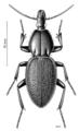 COLE Carabidae Maoripamborus fairburni 1.png