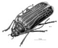COLE Cerambycidae Prionoplus reticularis 1.png