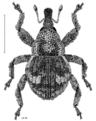 COLE Curculionidae Allanalcis aulacus.png