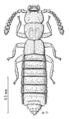 COLE Staphylinidae 2.png
