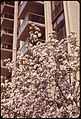 CRAB APPLE IN FULL BLOOM AT FIFTH AVENUE AND 79TH STREET IN MIDTOWN MANHATTAN - NARA - 551740.jpg