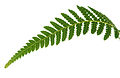 CSIRO ScienceImage 3247 Fern frond.jpg