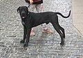 Ca de Guarda o Dogo Català.jpg