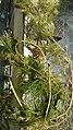 Cabomba caroliniana Gray (AM AK360306-3).jpg
