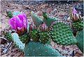 Cacti Blooms, Zion NP, Angel's Landing Trail 5-1-14zb (14206400249).jpg