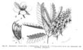 Caesalpinia echinata Taub95.png
