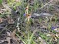 Caladenia longiclavata (habit).jpg