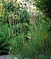 Calamagrostis epigejos-(dkrb)-1.jpg