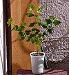 Eine junge Calea Ternifolia