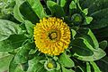 Calendula officinalis 27122014 (1).jpg