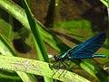 Calopteryx IMG 5475.jpg