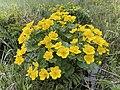 Caltha palustris Marsh-marigold kingcup (bekkeblom soleihov) wetland brook (våtmark bekk) Pirane, Hvasser, Oslofjorden, Norway 2021-05-13 IMG 9448.jpg