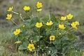 Caltha palustris marais-belloy-sur-somme 80 26042007 3.jpg