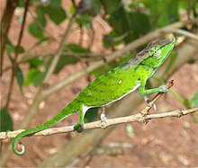 The chameleon on a branch