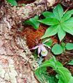 Calypso bulbosa closeup 1-mgrover (5098051430).jpg