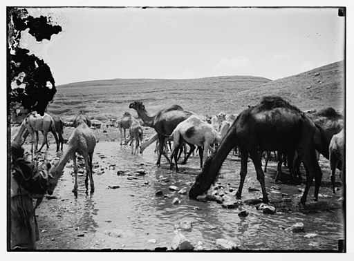 Camels at watering place LOC matpc.06063