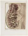 Camelus dromedarius - ingewanden - 1700-1880 - Print - Iconographia Zoologica - Special Collections University of Amsterdam - UBA01 IZ21600079.tif