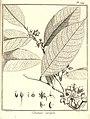 Cananga ouregou Aublet 1775 pl 244.jpg