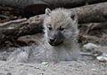Canis lupus arctos - Tiergarten Schönbrunn 5.jpg