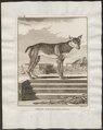Canis lupus familiaris - 1700-1880 - Print - Iconographia Zoologica - Special Collections University of Amsterdam - UBA01 IZ22200003.tif