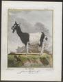 Capra hircus - 1700-1880 - Print - Iconographia Zoologica - Special Collections University of Amsterdam - UBA01 IZ21300221.tif