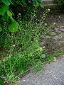 Capsella bursa-pastoris 001.JPG