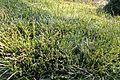 Carex morrowii 'Ice Dance' kz1.jpg