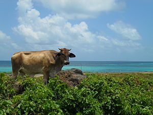 Corn Islands - Caribbean Cow