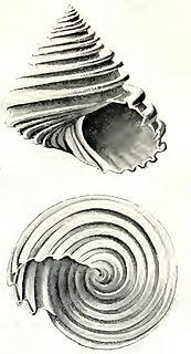 <i>Carinastele</i> genus of molluscs