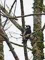 Carpintero Bellotero, Acorn Woodpecker, Melanerpes formicivorus (10129836243).jpg