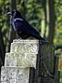 Carrion crow Corvus corone, Tottenham Cemetery, Haringey, London, England 5.jpg