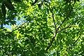Cassia fistula 21zz.jpg
