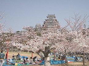 Сколько цветет сакура в японии