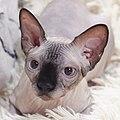 Cat - Sphynx. img 095.jpg