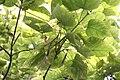 Catalpa speciosa - Severna katalpa (7).jpg