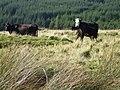 Cattle - geograph.org.uk - 983197.jpg
