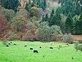 Cattle grazing - geograph.org.uk - 614232.jpg