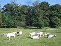 Cattle near Newton House - geograph.org.uk - 538629.jpg