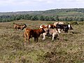 Cattle on Dur Hill Down, New Forest - geograph.org.uk - 211761.jpg