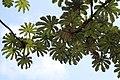 Cecropia obtusifolia 11zz.jpg