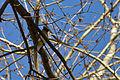 Cedar Waxwing (Bombycilla cedrorum) - London, Ontario 03.jpg