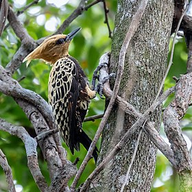 Celeus ochraceus - Ochre-backed Woodpecker (female); Arari; Maranhão, Brazil.jpg