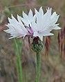 Centaurea cyanus 5.jpg
