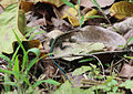 Central american whiptail.jpg