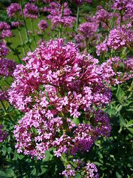 Centranthus ruber 2007-06-02 (flower)